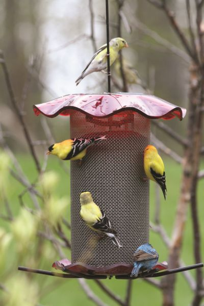 3 Quart Forever Nyjer Thistle Feeder ? Red | Birds Choice #FF214A